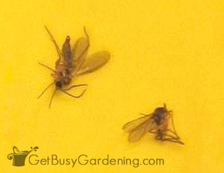 Fungus gnats in my houseplants