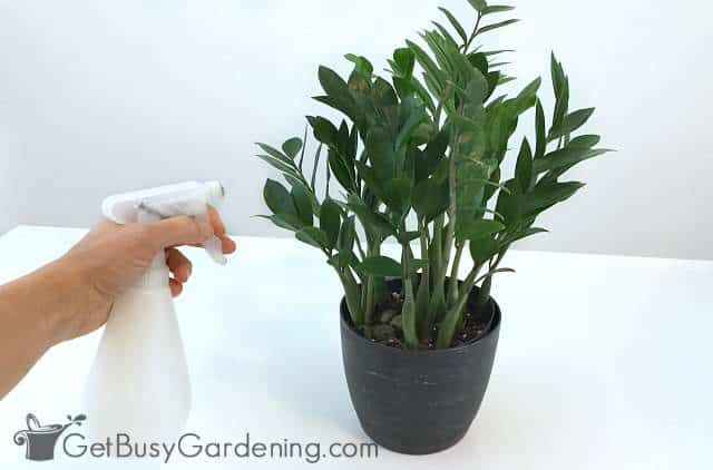 Using natural houseplant bug spray to kill plant bugs
